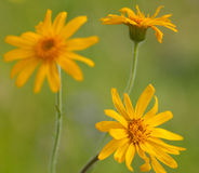 Μακροεντολή ενός άγριου λουλουδιού: Arnica Μοντάνα Στοκ εικόνες με δικαίωμα ελεύθερης χρήσης