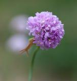 Μακροεντολή ενός άγριου λουλουδιού: Maritima Armeria Στοκ Φωτογραφία