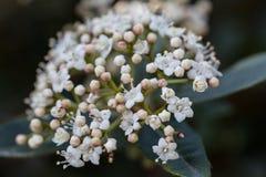 Μακροεντολή ενός άγριου λουλουδιού: Tinus Viburnum Στοκ Εικόνα
