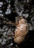 Μακροεντολή ενός εντόμου: Cicada orni Στοκ Φωτογραφία