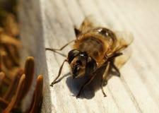 Μακροεντολή ενός ευρωπαϊκού hoverfly, επίσης γνωστή ως dronefly Στοκ Εικόνα