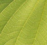 Μακροεντολή ενός φύλλου Στοκ Εικόνα