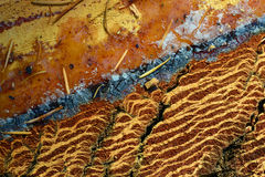 Μακροεντολή 02 διατομής δέντρων πεύκων Στοκ Εικόνες