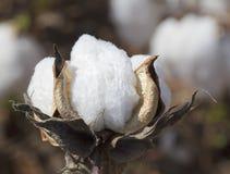 Μακροεντολή καρύων συγκομιδών βαμβακιού της Αλαμπάμα - Gossypium Στοκ Φωτογραφίες