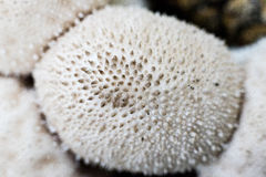 Μακροεντολή μανιταριών Puffball Στοκ Φωτογραφίες