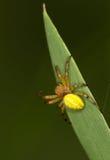 Μακροεντολή μιας αράχνης: Cucurbitina Araniella Στοκ Φωτογραφίες