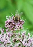 Μακροεντολή μιας μέλισσας Στοκ φωτογραφία με δικαίωμα ελεύθερης χρήσης