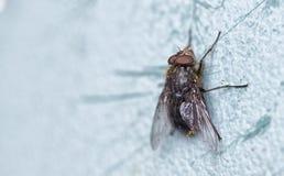 Μακροεντολή μιας μύγας που καλύπτεται στη γύρη Στοκ Φωτογραφίες