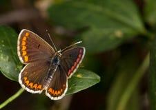Μακροεντολή μιας πεταλούδας: Agesti Aricia Στοκ εικόνες με δικαίωμα ελεύθερης χρήσης