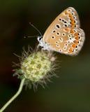 Μακροεντολή μιας πεταλούδας: Agesti Aricia Στοκ φωτογραφίες με δικαίωμα ελεύθερης χρήσης