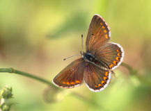 Μακροεντολή μιας πεταλούδας: Agestis Aricia Στοκ εικόνα με δικαίωμα ελεύθερης χρήσης