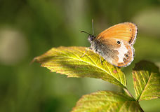 Μακροεντολή μιας πεταλούδας: Arcania Coenonympha Στοκ φωτογραφία με δικαίωμα ελεύθερης χρήσης