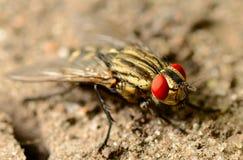 Μακροεντολή μυγών εντόμων σε ένα έδαφος Στοκ φωτογραφία με δικαίωμα ελεύθερης χρήσης