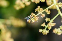 Μακροεντολή μυγών εντόμων Στοκ εικόνες με δικαίωμα ελεύθερης χρήσης
