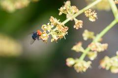 Μακροεντολή μυγών εντόμων Στοκ Εικόνες