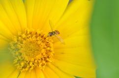 μακροεντολή μυγών λουλ& Στοκ φωτογραφία με δικαίωμα ελεύθερης χρήσης