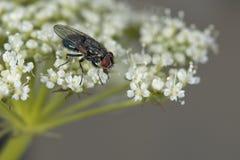Μακροεντολή μυγών στο άσπρο λουλούδι Στοκ φωτογραφία με δικαίωμα ελεύθερης χρήσης