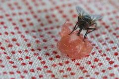 Μακροεντολή μυγών τρώγοντας το κρέας Στοκ εικόνες με δικαίωμα ελεύθερης χρήσης