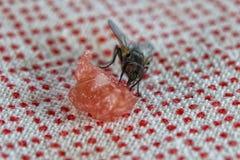 Μακροεντολή μυγών τρώγοντας Στοκ Εικόνα