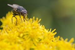 Μακροεντολή μυγών τρώγοντας Στοκ φωτογραφίες με δικαίωμα ελεύθερης χρήσης