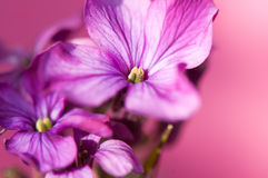 Μακροεντολή λουλουδιών τιμιότητας Στοκ φωτογραφίες με δικαίωμα ελεύθερης χρήσης
