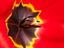 Μακροεντολή λουλουδιών τουλιπών Στοκ Εικόνες