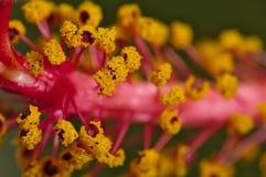 Μακροεντολή πορτοκαλί Hibiscus Στοκ φωτογραφία με δικαίωμα ελεύθερης χρήσης