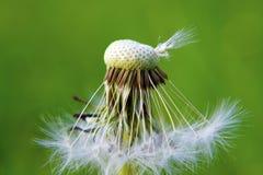 Μακροεντολή σπόρων πικραλίδων στοκ εικόνες
