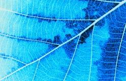 Μακροεντολή στο μπλε φύλλο χρώματος φυλλώματος φθινοπώρου, μπλε φύλλο χρώματος fantacy Στοκ Φωτογραφία