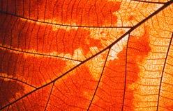 Μακροεντολή στο φύλλο φυλλώματος φθινοπώρου Στοκ Εικόνα