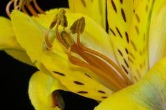 Μακροεντολή της κίτρινης περουβιανής ανθοδέσμης κρίνων, λουλούδια Astroemeria Στοκ Εικόνα