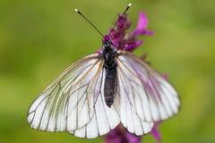 Μακροεντολή της μαύρος-φλεβώούς άσπρης πεταλούδας (crataegi Aporia) Στοκ Εικόνα
