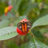 Μακροεντολή της πεταλούδας Longwing τιγρών (Heliconius hecale) στοκ φωτογραφίες