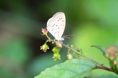 Χλόη-μπλε πεταλούδα Στοκ εικόνα με δικαίωμα ελεύθερης χρήσης