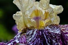 Μακροεντολή 01 της Iris λάμψης Gnus Στοκ φωτογραφία με δικαίωμα ελεύθερης χρήσης