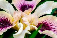 Μακροεντολή της Iris Pacifica Στοκ Εικόνες