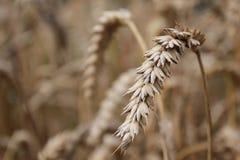 Μακροεντολή τομέων δημητριακών Στοκ Φωτογραφία