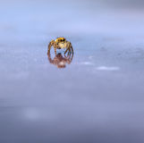 Μακροεντολή του άλματος της αράχνης Στοκ Εικόνες