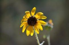 Μακροεντολή του ενιαίου κίτρινου λουλουδιού Στοκ Φωτογραφίες