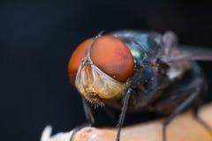 Μακροεντολή του εντόμου μυγών Στοκ Φωτογραφία