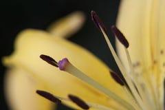 Μακροεντολή του κίτρινου λουλουδιού κρίνων Στοκ Φωτογραφίες