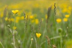 Μακροεντολή του κίτρινου λουλουδιού στον τομέα Στοκ Φωτογραφίες