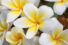 Μακροεντολή του κίτρινου λουλουδιού plumeria ή frangipani στο δέντρο. Στοκ Φωτογραφία