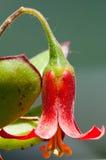 Μακροεντολή του κόκκινου λουλουδιού Στοκ φωτογραφία με δικαίωμα ελεύθερης χρήσης