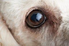 Μακροεντολή του ματιού σκυλιών με τη μόλυνση στοκ εικόνες