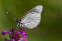 Μακροεντολή του μαύρος-φλεβώούς άσπρου crataegi Aporia πεταλούδων Στοκ εικόνες με δικαίωμα ελεύθερης χρήσης