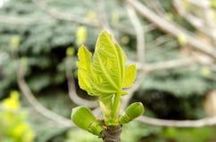 Μακροεντολή του νέου κλάδου δέντρων σύκων με τους οφθαλμούς την άνοιξη σε ένα πράσινο υπόβαθρο χλόης στοκ φωτογραφία