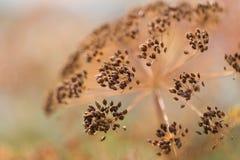Μακροεντολή του λουλουδιού άνηθου Στοκ Εικόνες