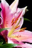 Μακροεντολή του λουλουδιού κρίνων Στοκ εικόνα με δικαίωμα ελεύθερης χρήσης