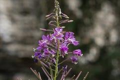 Μακροεντολή του πορφυρού λουλουδιού Στοκ Φωτογραφίες